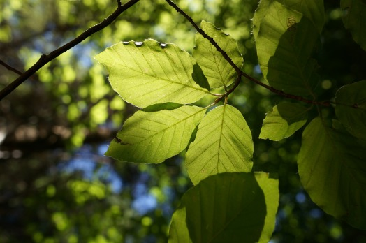 Leaves in Sunshine