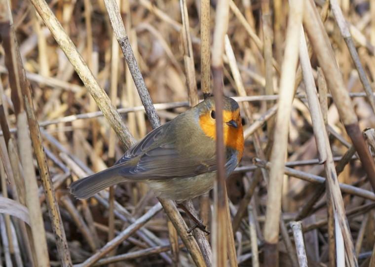 Robin between Reeds
