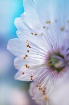 Detail Mandelblüte