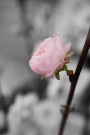 Mandelblüte schwarzweiß