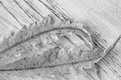 Blätter Detail sw